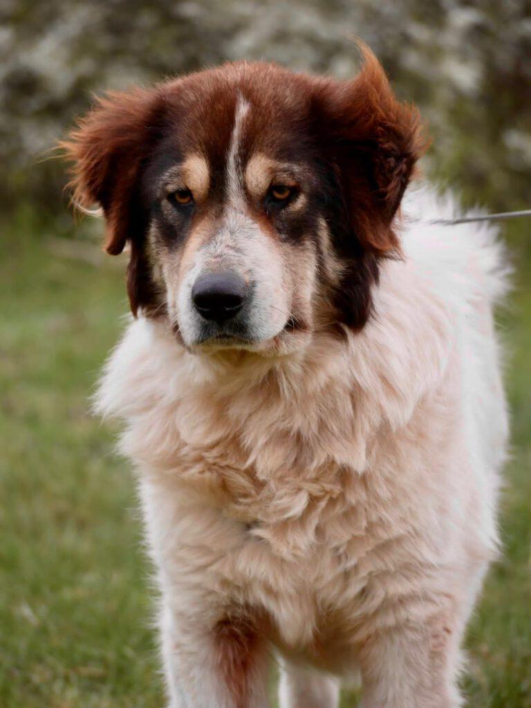 Beispiel eines Hundes mit Herdenschutzanteil aus der Arche